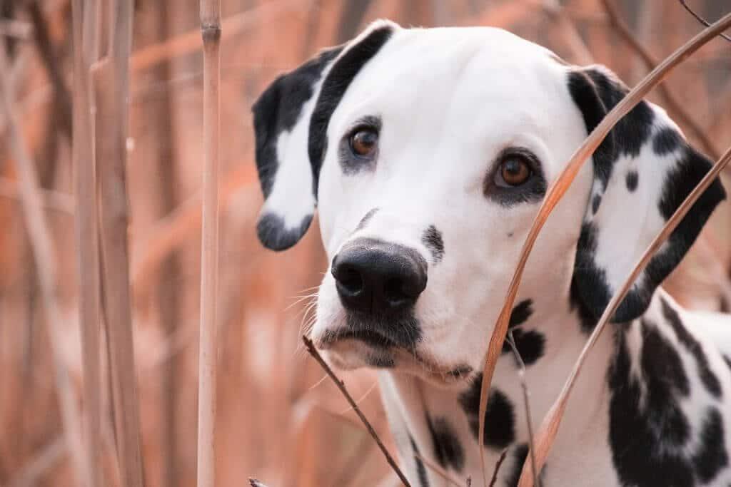 das richtige Hundefutter für Dalmatiner