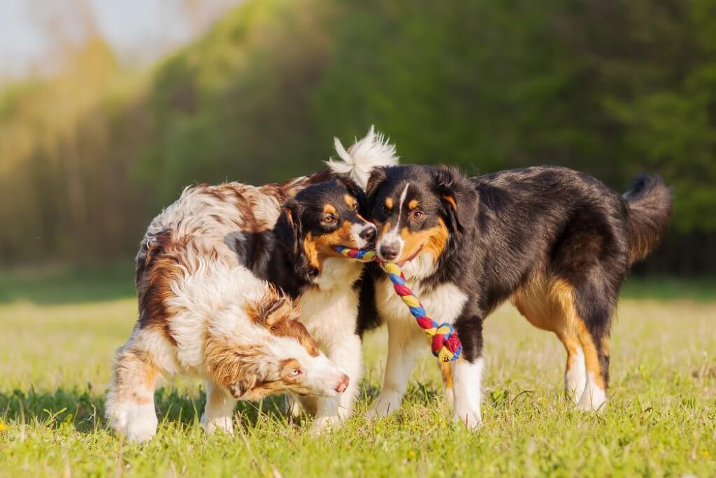 Hundefloh wird beim Spielen mit anderen Hunden übertragen