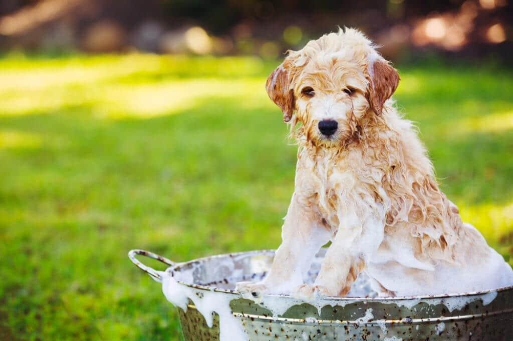 Welpe wird gebaded mit Shampoo