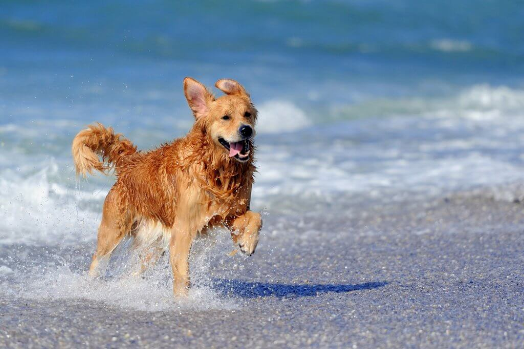 Golden Retriever im Wasser