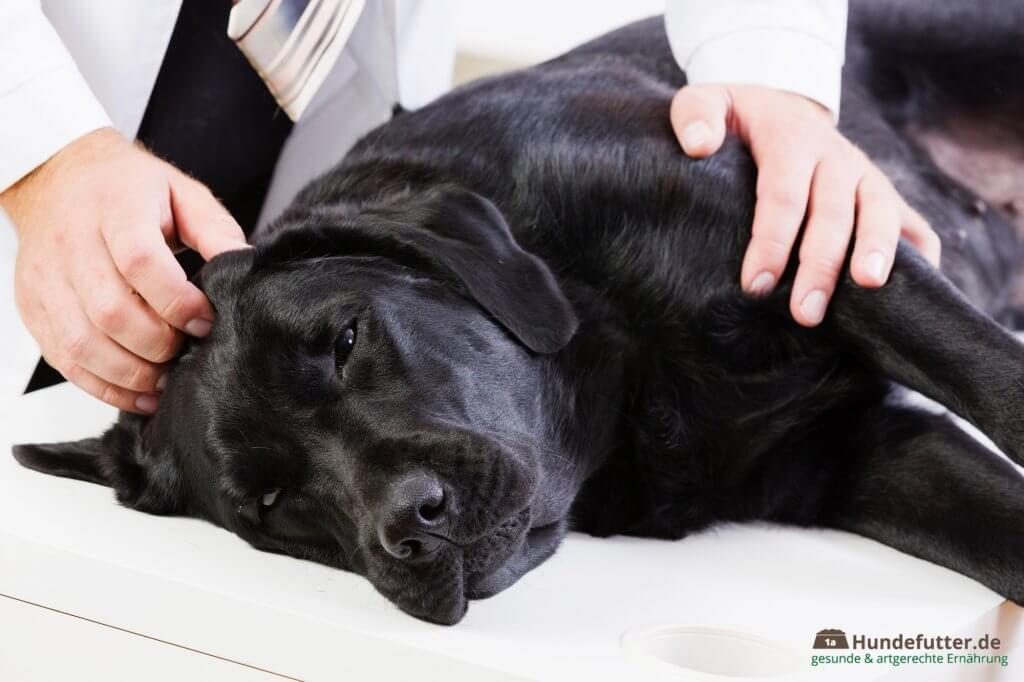 Kranker Hund zur Untersuchung beim Tierarzt