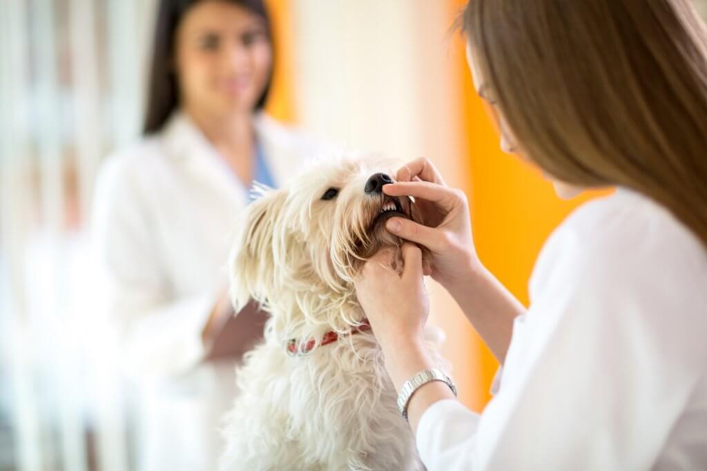 Kontrolle der Hundezähne durch Tierarzt