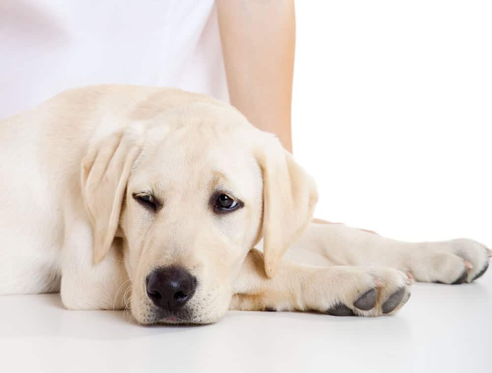 Kranker und müder Hund