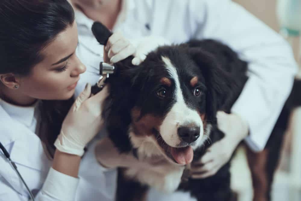 Berner Sennenhund beim Tierarzt